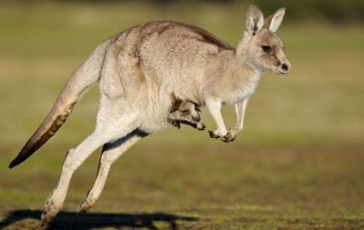 InfoSantai: Proses Kelahiran Kanggaru yang Unik