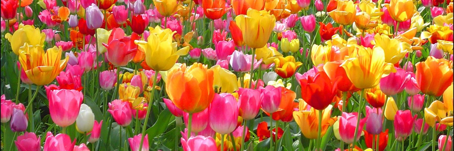 Why Are Tulips So Popular? 1