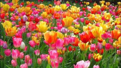 Photo of Why Are Tulips So Popular?