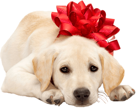 Labrador Puppy with Bow (4)