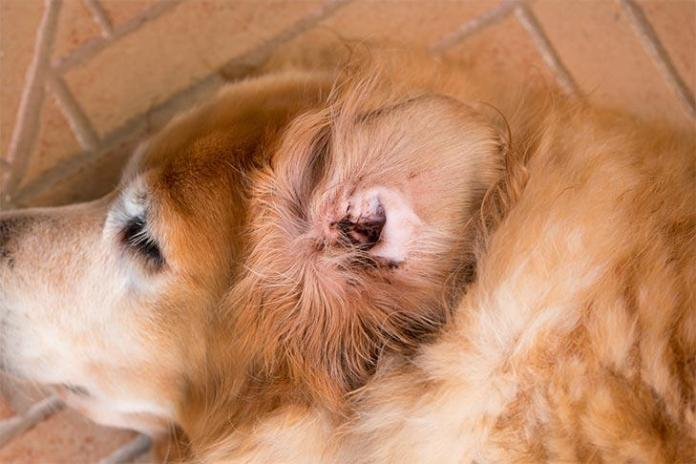 Dog Ear Infections: Symptoms, Causes, Treatment, and Prevention 1