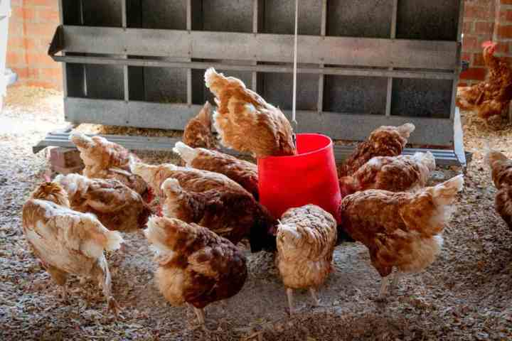 The cost of starting a poultry farm Business