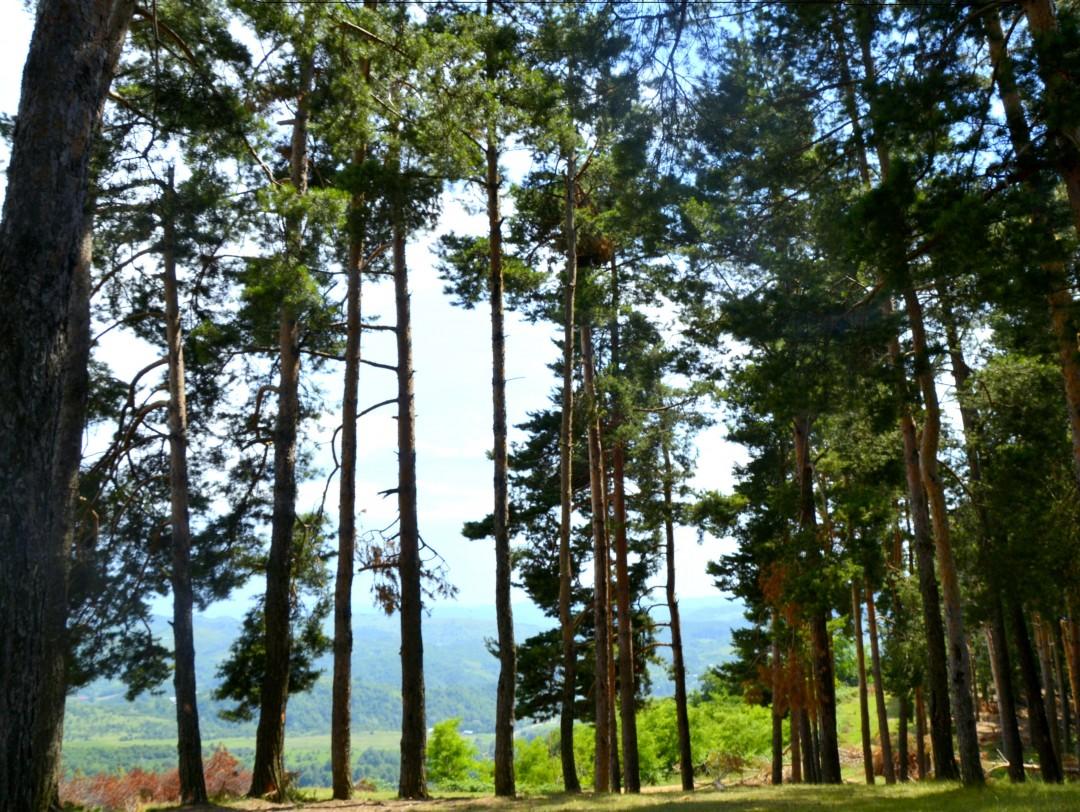 Liziera de pini de la Pietriş
