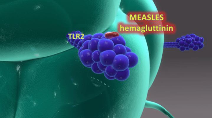 Exemplo de hemagluttinina de partículas de sarampo que é retirada pelo receptor microglial chamado TLR2 e convertem a célula microglial para o estado M1 pró-inflamatório.