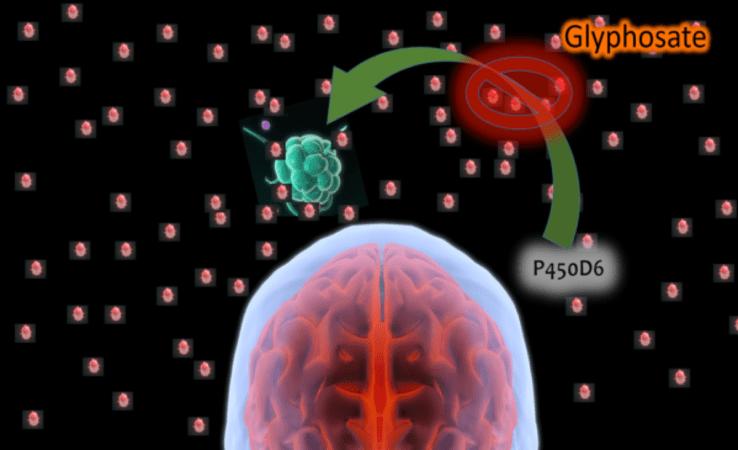 O glifosato mantém a inflamação em caracter permanente, inibindo as defesas cerebrais naturais.