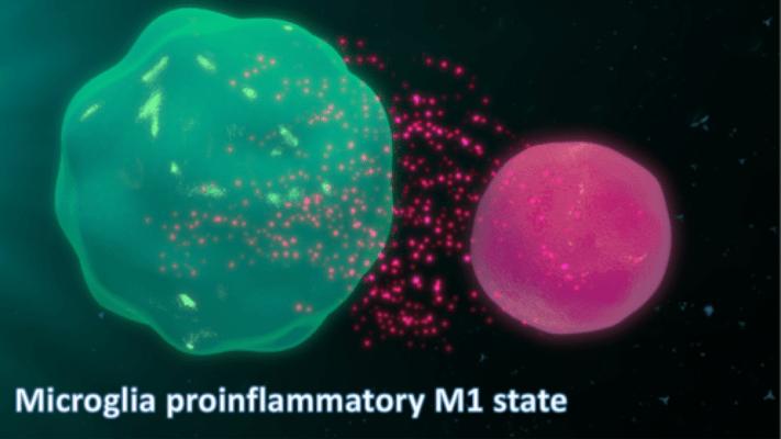 A microglia (à esquerda) a libertar citocinas pró-inflamatórias.