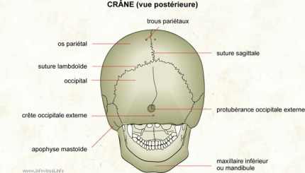 Crâne (vue postérieure)