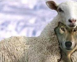 Волк в овечьей шкуре — кто это? Как вычислить. Понятие и признаки. Значение фразеологизма