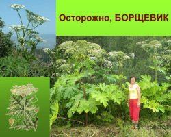 Борщевик — почему это растение самое опасное в России
