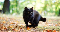 Когда чёрная кошка следует за вами - что это значит и к чему? Приметы