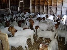 Start Goat Farming Business