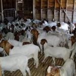 How to Start Goat Farming Business in Nigeria and Never Regret
