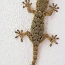Wall Gecko (Tarentola mauritanica), Majorca, Spain, Europe #12553641