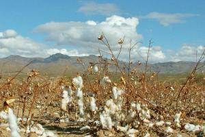 Is it Time to Stop Growing Cotton in the Arizona Desert?