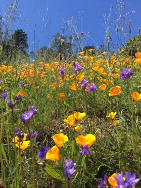 Mt. Davidson in bloom.