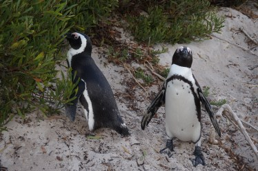Boulders Beach penguinis