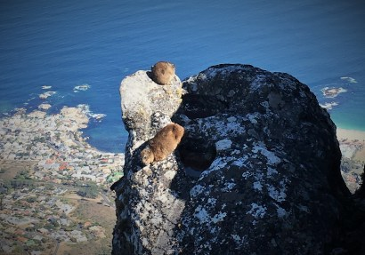 Dassies at the top of Table Mountain