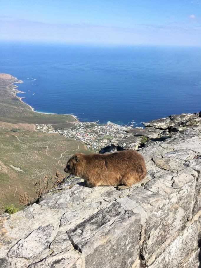 Table Mountain dassie