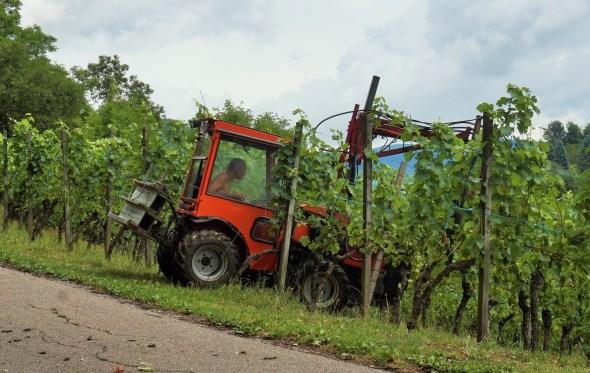 Vineyard worker in the vineyards above Gengenbach