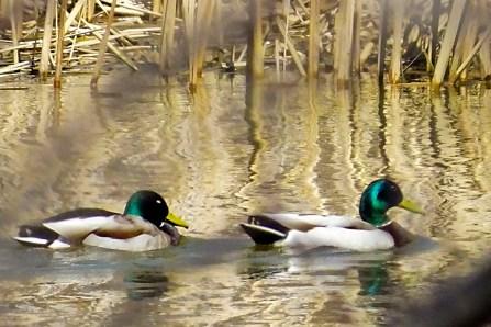 Mallard Ducks, BGrant