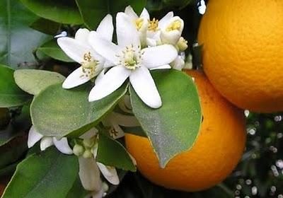 Portakal çiçeği meyve turuncu