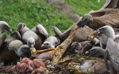 Griffon Vultures © Inglorious Bustards