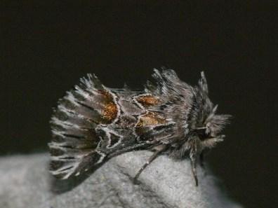 Amephana aurita ©Inglorious Bustards