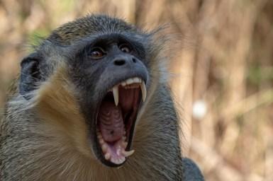 Green Monkey © Inglorious Bustards