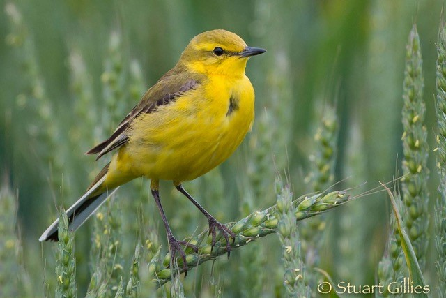 yellow wag
