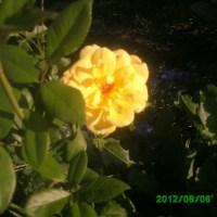 Cum facem butasirea la Trandafiri!