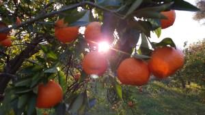 Mandarino Valle Lecrin