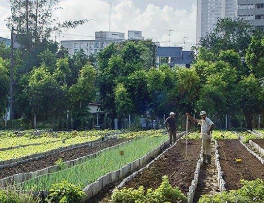 Urban Farming Movement in Havana, cuban urban cultivation, agrarian production havana, sustainable city farming, urban farming cuba, food production cuba