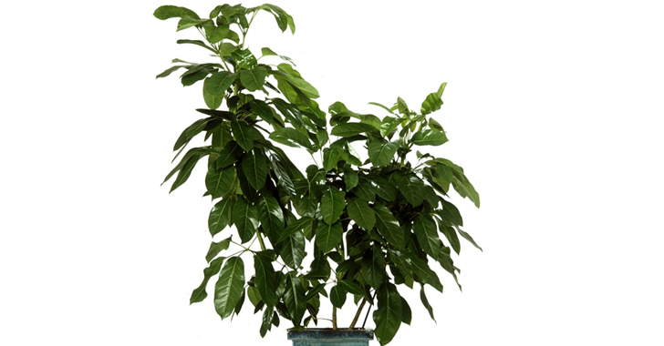 palms, potted plants, air purifying plants, indoor plants, plants for health, air cleaning plants, lilies, peace lilies, Dendrobium, orchids, ferns, Schefflera, anthuriums, song of india, gardening, urban gardening, indoor garden, vocs, air filter, natural air filter, green design, eco design, sustainable design