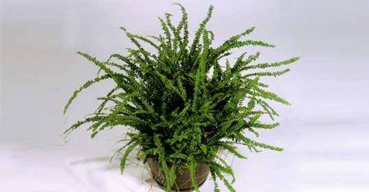 fern for indoor air purific