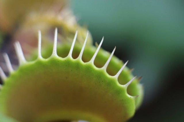 Plants, plant, Venus flytrap, flytrap, carnivorous, teeth, nature