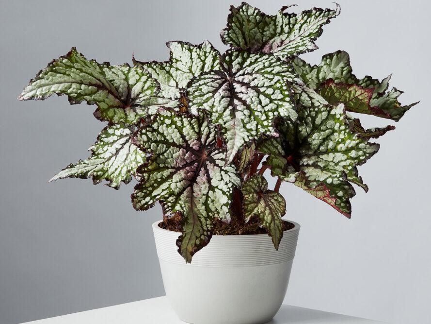 a potted begonia plant with green, white and purple leaves.