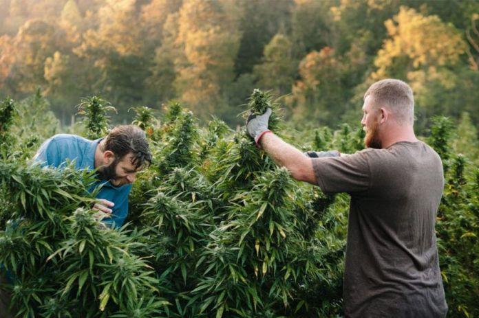 Two people farming marijuana outdoors.