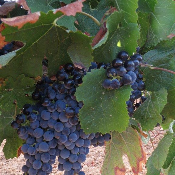 Merlot druif Penedes