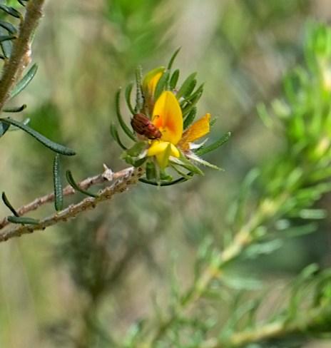 Pultenea Stipularis