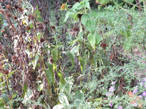 Photo of dying seedheads of coneflowers