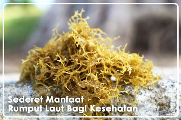 sederet manfaat rumput laut
