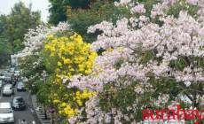 Permalink ke Woow!! The Blooming Sakura-Look-Alike Tabebuya Amused Surabaya Citizens