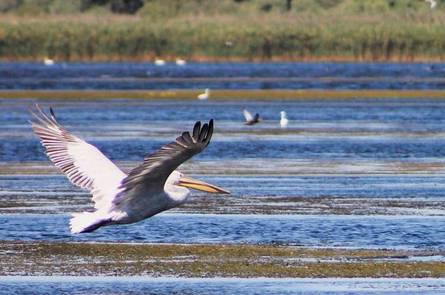 delta-du-danube-oiseaux-pelicans