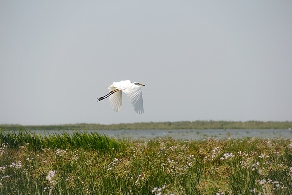 observation-oiseaux-delta-du-danube-grande-aigrette