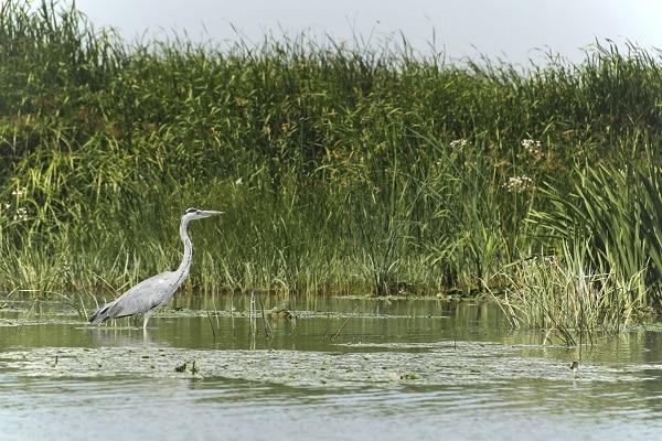 observer-oiseaux-delta-du-danube-heron-cendre