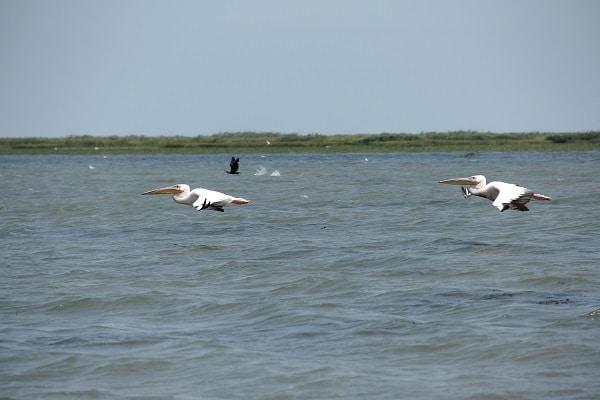 sejour-observation-oiseaux-delta-danube-pelicans-blancs