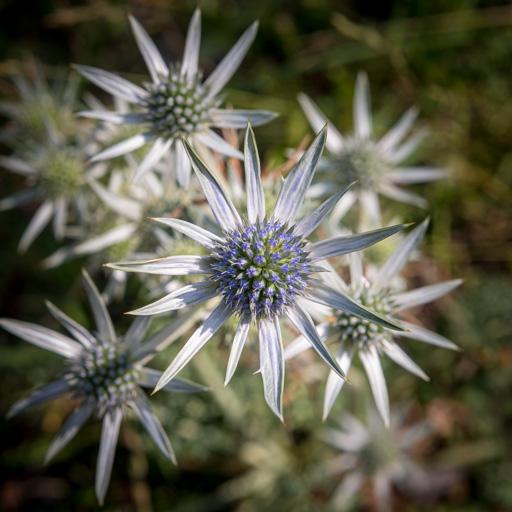 le fond restant suffisamment lisible permet d'attirer l'œil sur l'aspect piquant de la fleur