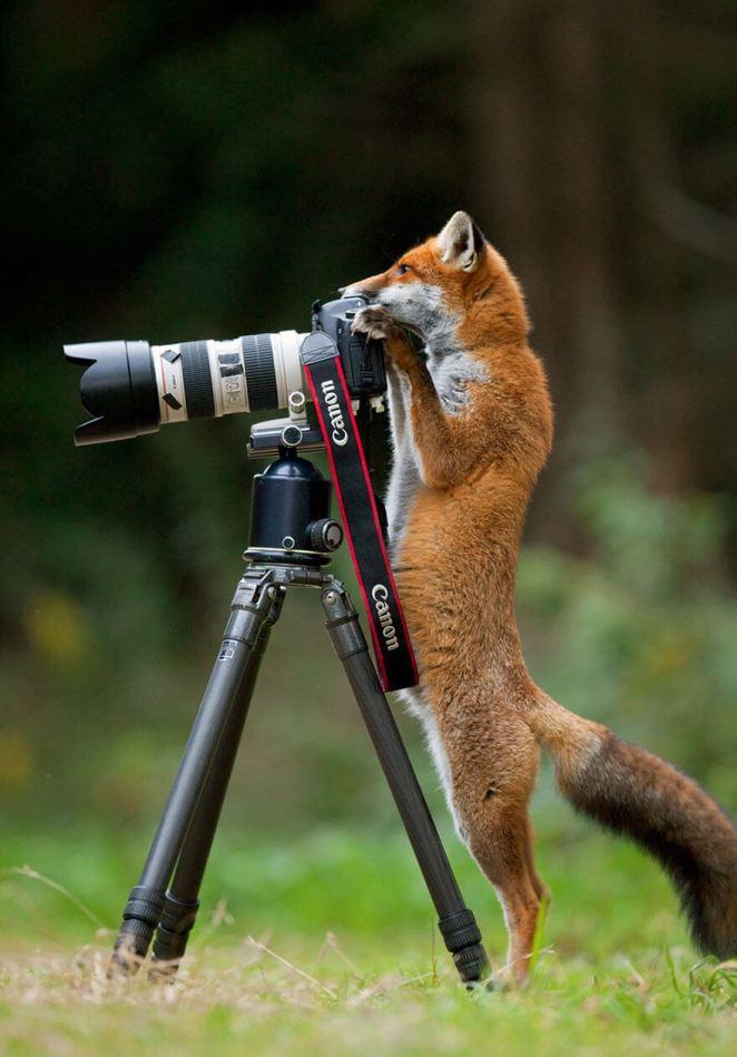Fox taking a shot