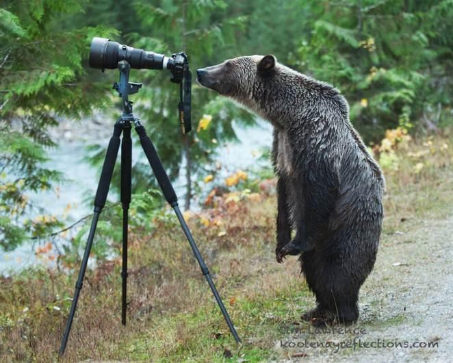 Bear looking through the camera