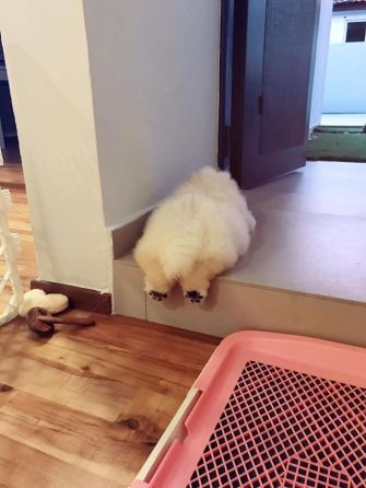 fluffy-dog-chowchow-puffie-the-chow-10-595a4fcf4b51f__700